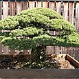 17th Century Bonsai