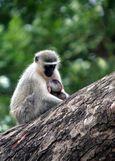 Monkey_with_baby_v