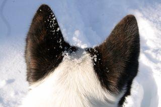 Snowy ears