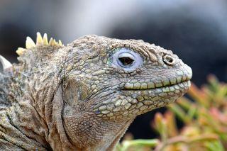 Land iguana 2