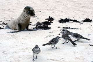 Sea lion and hood mockingbirds
