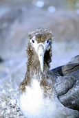 Juvenile albatross