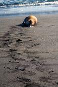 Sea lion track