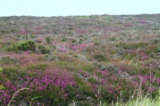 9 Moors - Heather
