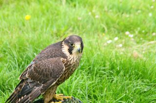 3 Falconry - hawk