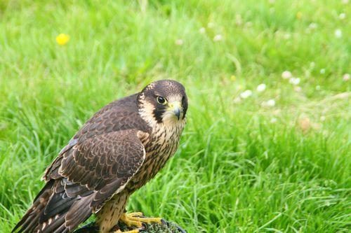 3 Falconry - hawk