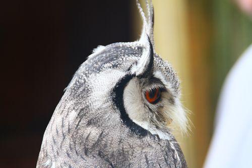 3 Falconry - owl
