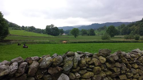 6 Dales - cow field
