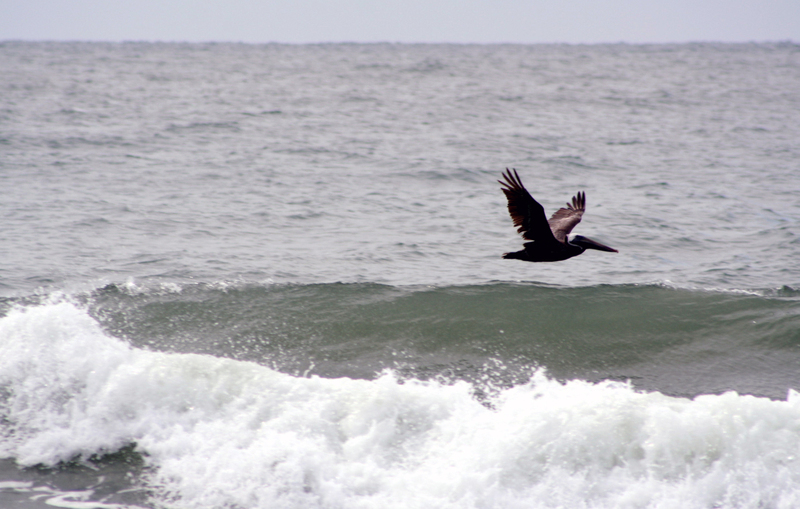 Pelican_in_flight