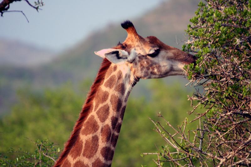 Giraffe_grazing