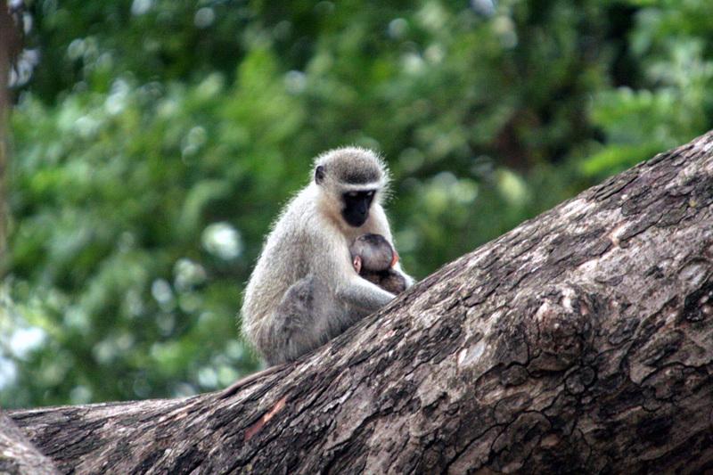 Vervet_monkey