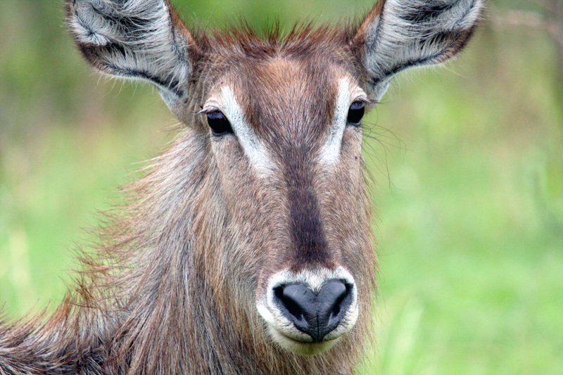 Waterbuck_face